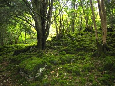 Killarney National Park (Reenadinna Yew Wood, Ireland; Wikipedia Commons)